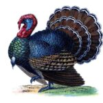 Color illustration of a turkey from an antique children's encyclopedia