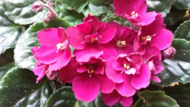African violets blooming in the EarRelevant editorial offices. (credit: Mark Gresham)